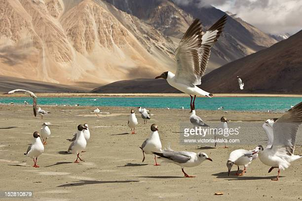 Pangong seagulls