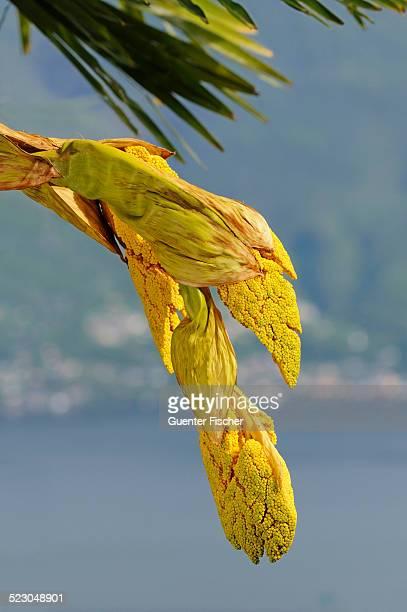 Panicles of a Windmill Palm or Chinese Windmill Palm -Trachycarpus fortunei-, Ronco, Ticino, Switzerland, Europe