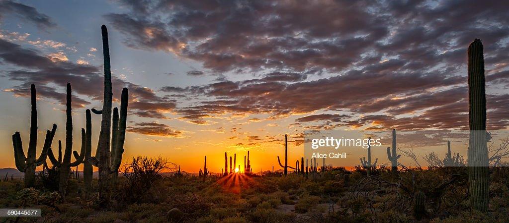 Pano of sun setting behind Saguaro Cactus