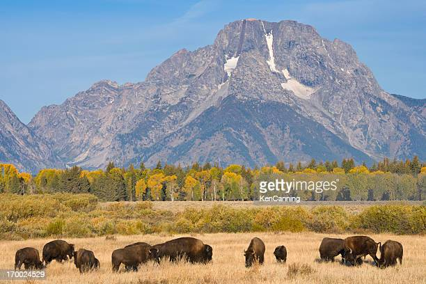 Panorama of American Bison Buffalo on pasture