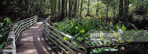 Panorama of boardwalk in Corkscrew Swamp, Florida