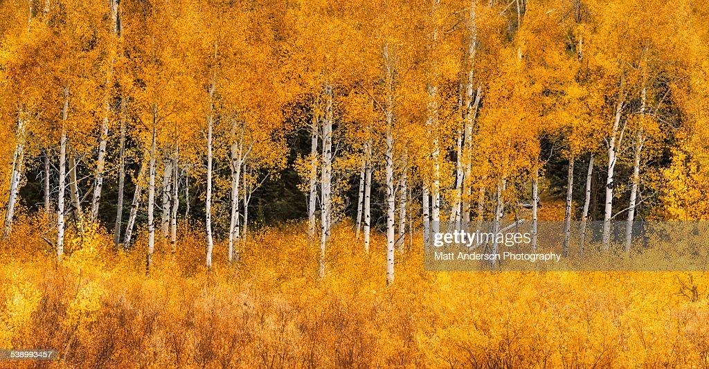 Panorama of golden aspen tree Grand Teton NP