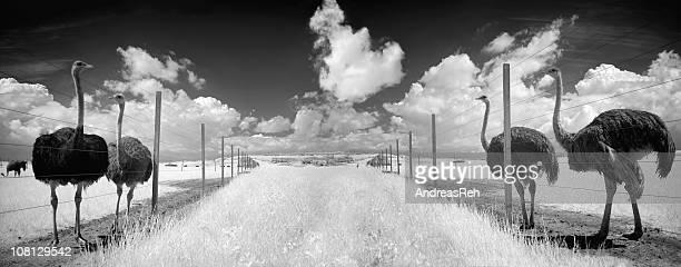 Panorama de granja de avestruces con la fotografía infrarroja