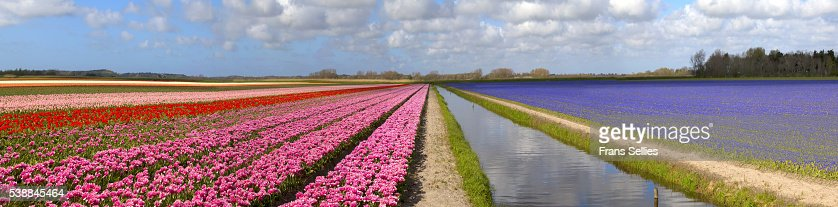 Panorama of the tulip fields, North Holland, Netherlands