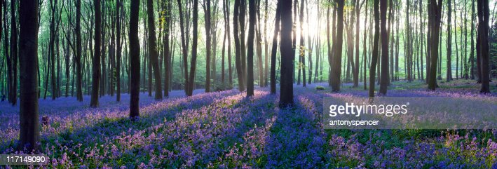 Panoramic Bluebell woodland. : Stock Photo