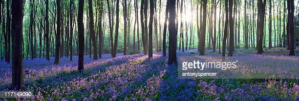 Panoramic Bluebell woodland.