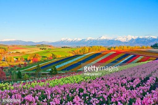 Panoramic Flower Gardens Shikisai hill in Biei, Japan : Stock Photo