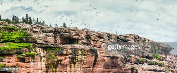 A panoramic glimpse at Bonaventure Island's and its world's largest colony of Northern gannets where over 200 thousand birds call this place home, 6 months out of the year. Common murres, also called common guillemot can also be seen in this image.