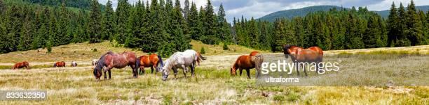 Panorama von weidenden Wildpferde und Weide am Padis in den Apuseni-Bergen von Siebenbürgen