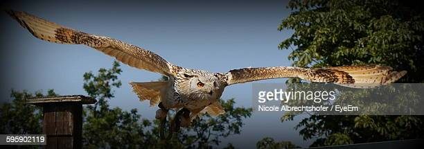 Panoramic Shot Of Owl Flying