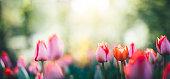 Garden full of beautiful colorful tulips. Panoramic view.