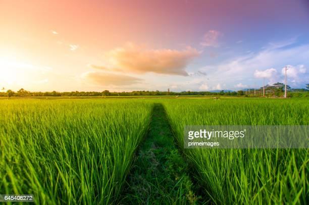 Panoramablick auf Natur Landschaft ein grünes Feld mit Reis