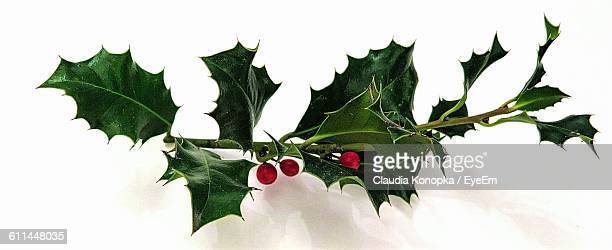 Panoramic View Of Holly Plant On White Background