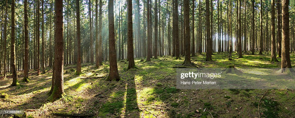 panoramic view of o fir forest with sun : Stock Photo