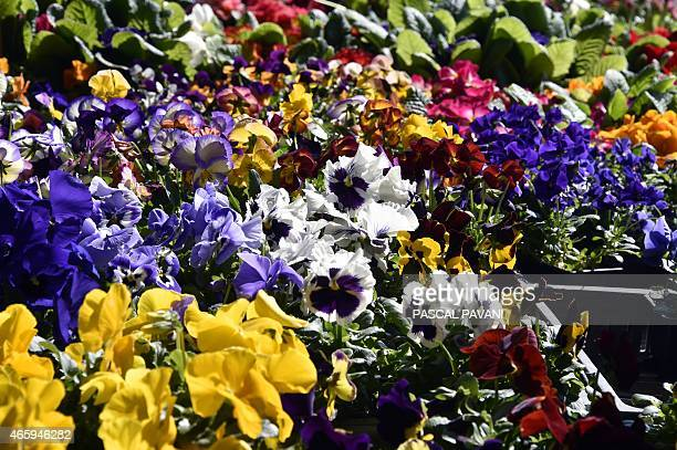 Pansies are on sale at the local market in Montauban southern France on March 11 2015 AFP PHOTO/PASCAL PAVANI