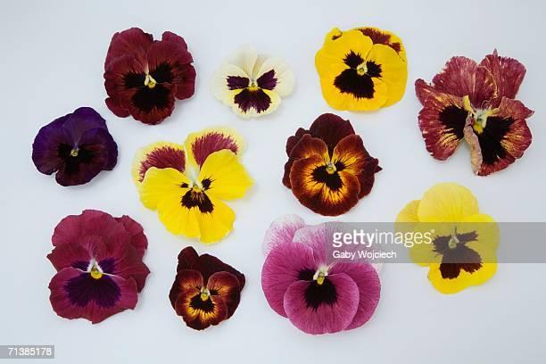Pansies flower petals, close-up