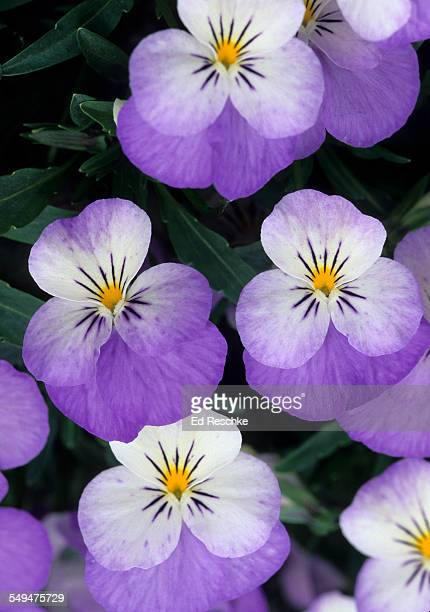Pansy (Viola), a relative of the violet