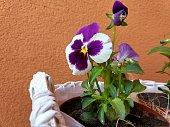 Pansy flower. Slovakia