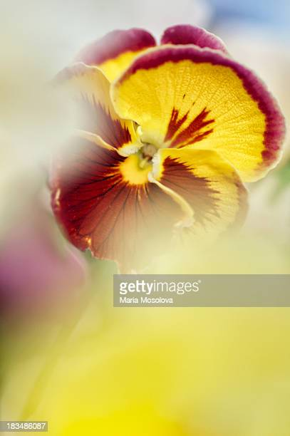 Pansy flower through other fowers
