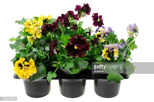 Pansy plants in plastic seed tray
