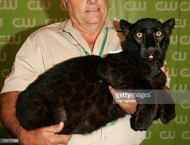 A panther and the animal's handler at the CW Network Upfront at Madison Square Garden on May 17 2006 in New York City