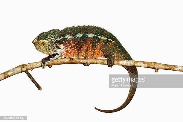 Panther Chameleon (Furcifer pardalis) against white background