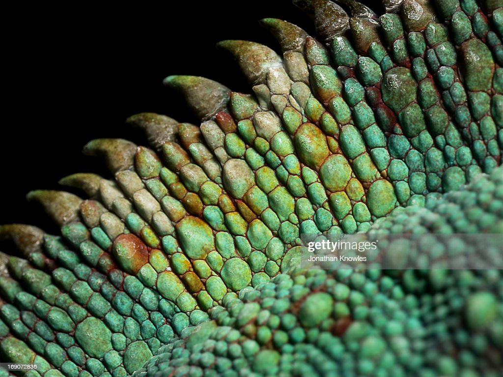 Panther Chameleon, close up on the spine : Stock Photo