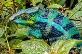 Panther Chameleon (lat. Furcifer pardalis)