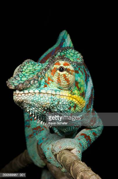 Panther chameleon (Furcifer pardalis) male on branch