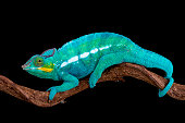 The Panther chameleon (Furcifer paradise) is one of the most colorful lizard species in the world.