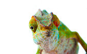 Chameleon from Reunión Island.