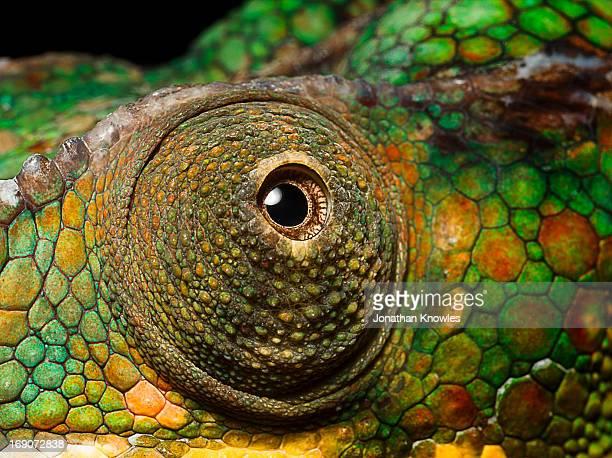 Panther Chameleon's eye, close up