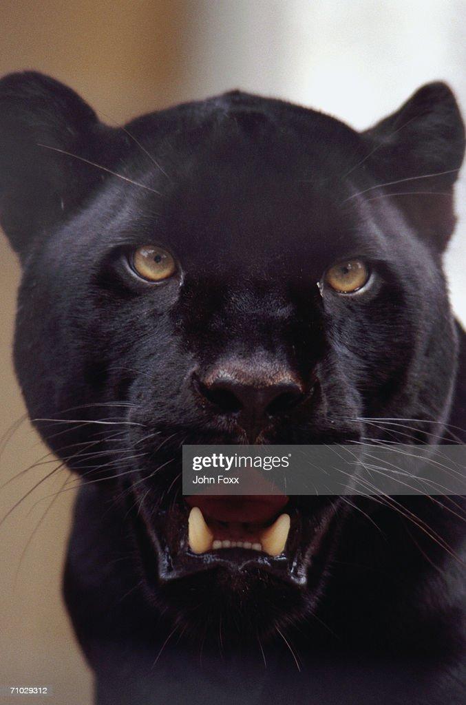 panther : Stock Photo