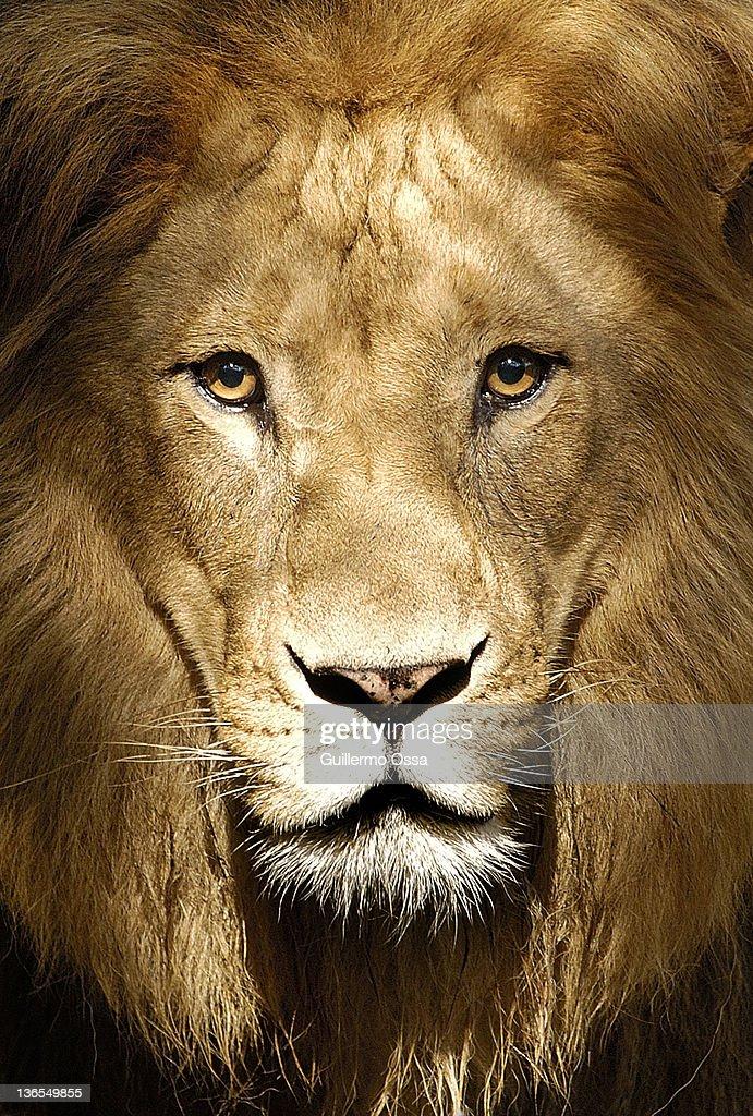 Panthera leo : Stock Photo