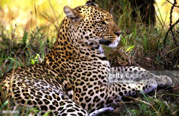 Panthere au Kenya