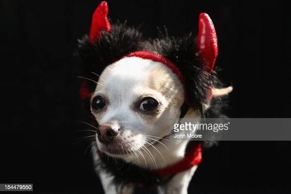 Pants a Chihuahua poses as a devil at the Tompkins Square Halloween Dog Parade on October 20 2012 in New York City Hundreds of dog owners festooned...