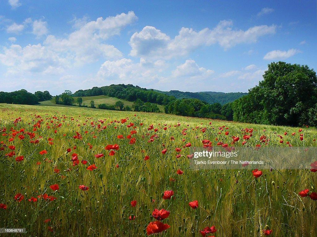 Papaver field in Jura, France