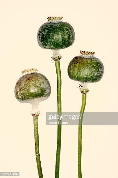 Papaver somniferum 'Kandahar Afghan Poppy'