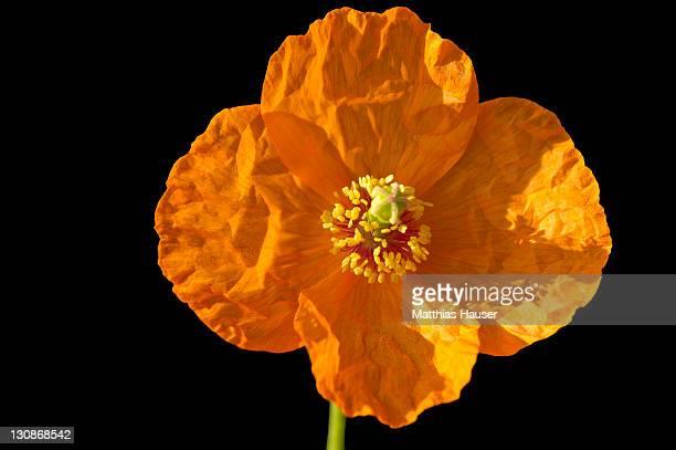 Papaver tianschanicum Popov poppy seed