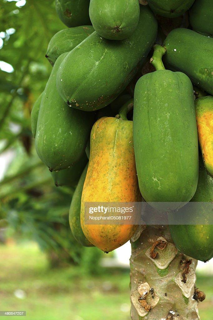 papaya on plant : Stock Photo