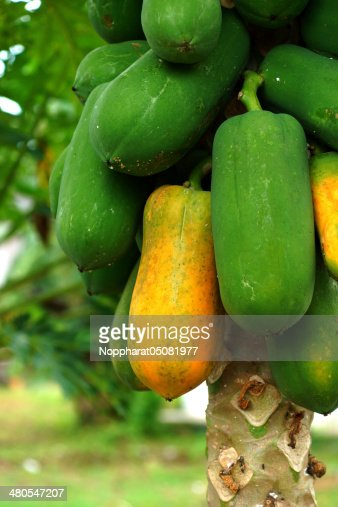 papaya en planta : Foto de stock
