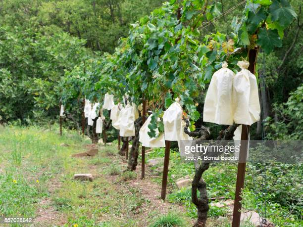 Paper bags protecting grapes on the vine, Grapes for raw consumption as fruit. Spain