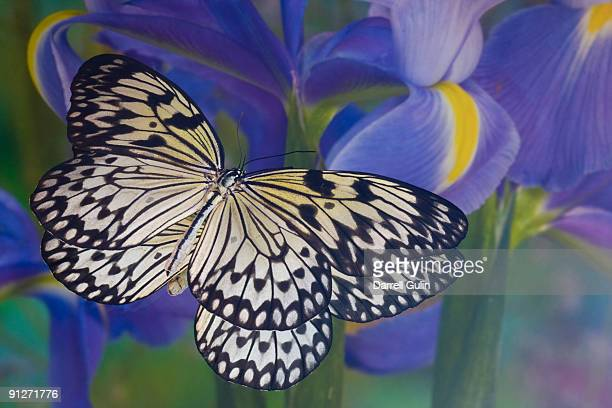 Paper Kite and its Reflection with Dutch Iris