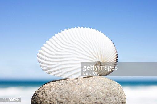 Paper nautilus or orargonaut octopus shell : Stock Photo
