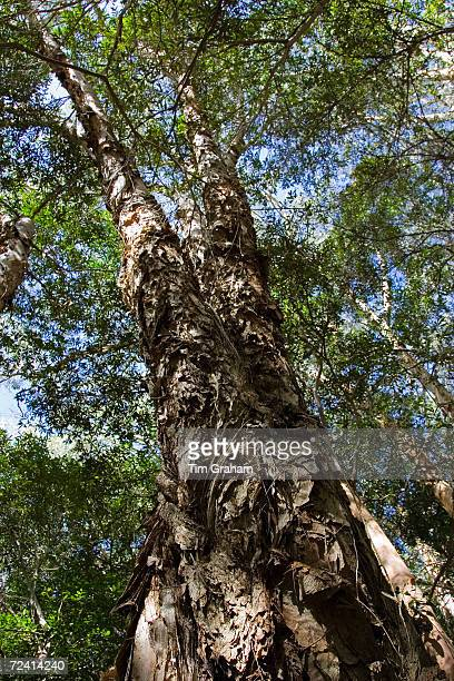 Paperbark TeaTrees Mary Creek in Daintree Rainforest Queensland Australia
