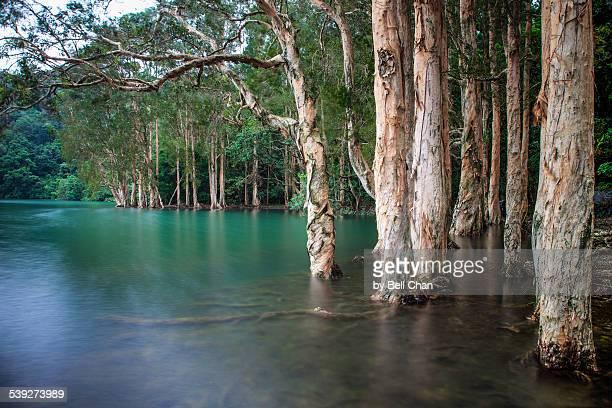 Paperbark Trees  Shing Mun Reservoir