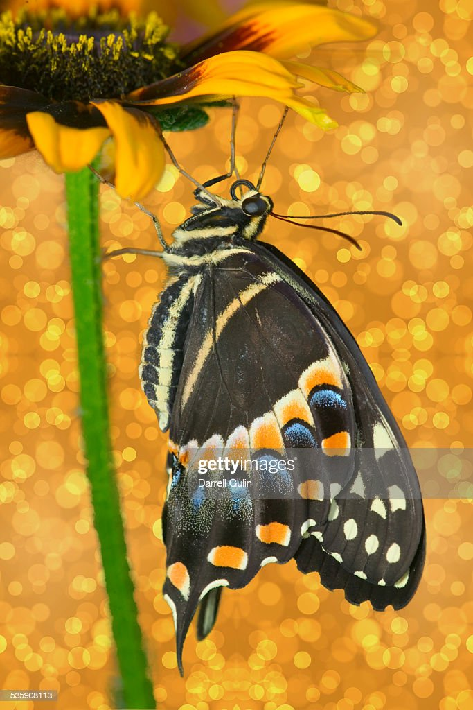 Papilio palamedes swallowtail butterfly : Stock Photo