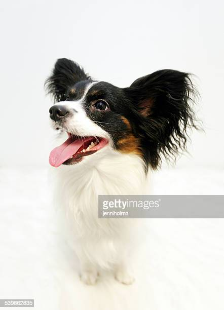 Papillon against white background