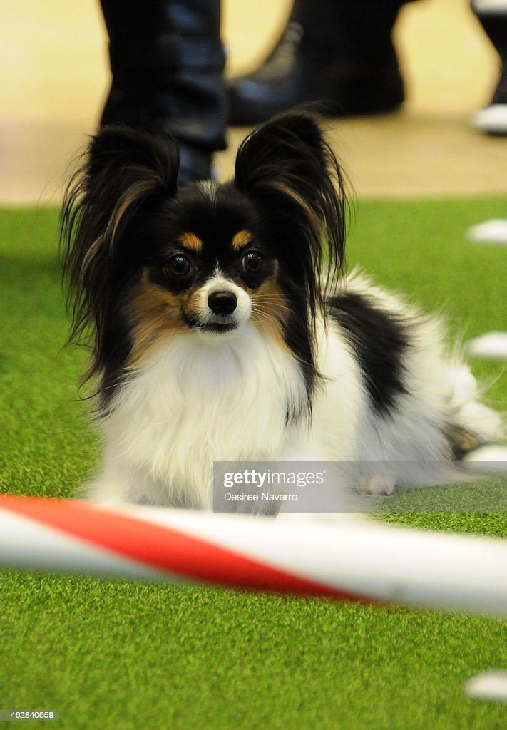 The 138th annual westminster kennel club dog show press for Papillon new york