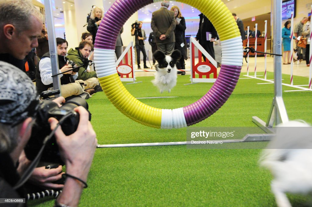 Papillon dog 'Fame' jumps through a hoop at the 138th Annual Westminster Kennel Club Dog Show press conference at Madison Square Garden on January 15...